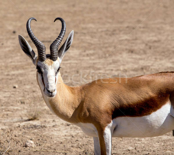 Stock photo: Portrait of Springbok Antidorcas marsupialis
