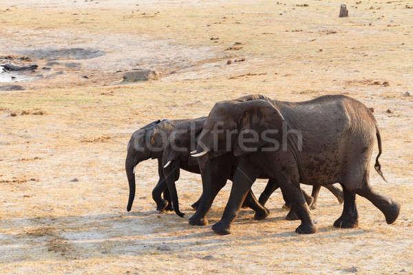 Nyáj afrikai elefántok iszik sáros Botswana Stock fotó © artush