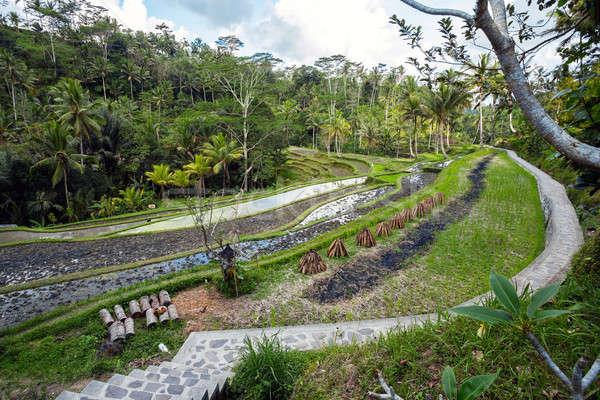 Rice terraced paddy fields in Gunung Kawi, Bali, Indonesia Stock photo © artush