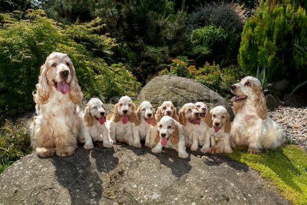family of English Cocker Spaniel with small puppy Stock photo © artush