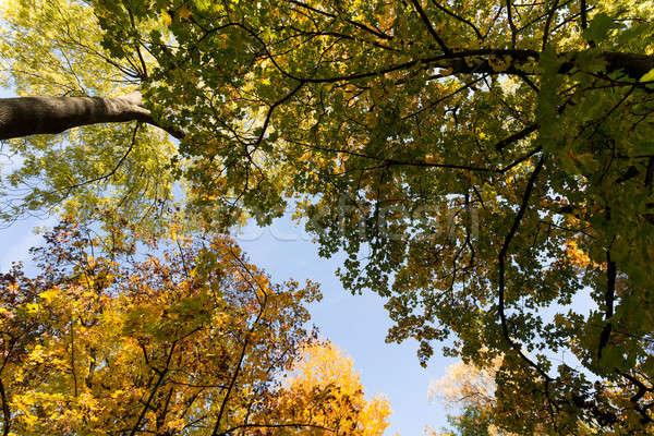 Jesienią drzewo górę Błękitne niebo kolorowy widoku Zdjęcia stock © artush