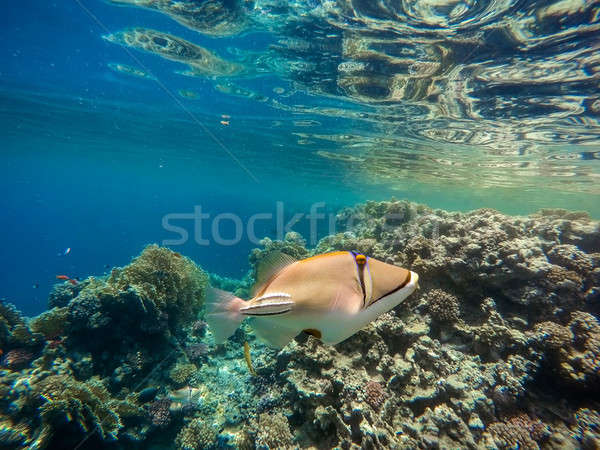 Arabian Triggerfish on coral garden in red sea, Egypt Stock photo © artush