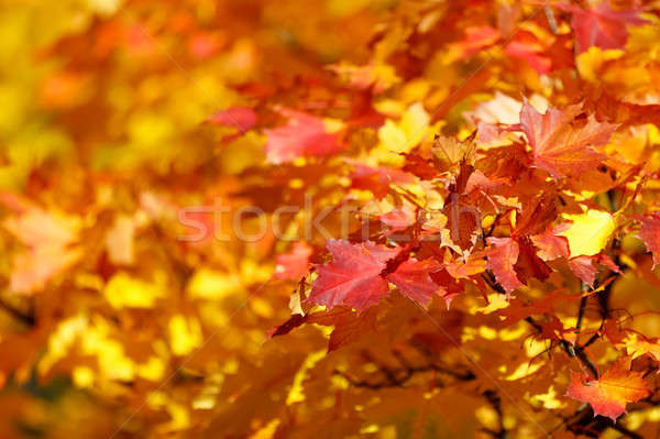 Orange autumn leaves background with very shallow focus Stock photo © artush