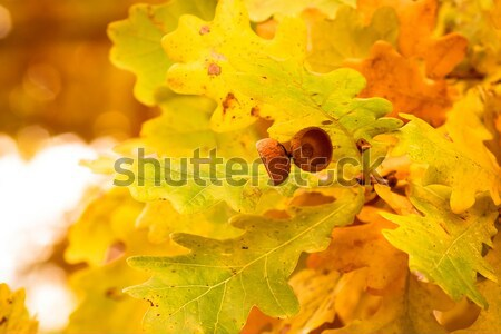 autumn colors of oak leaves  Stock photo © artush