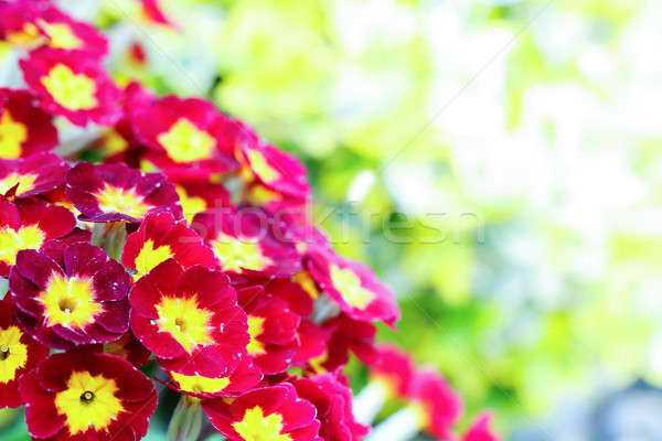 Foto stock: Belo · vermelho · prímula · jardim · estoque