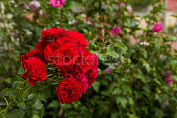 beautiful red roses  in garden Stock photo © artush