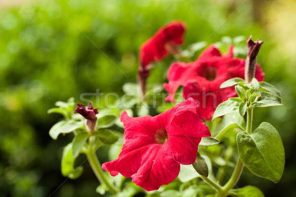 Kırmızı çiçek damar arka plan yaz yeşil Stok fotoğraf © artush