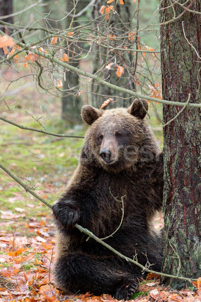 Bruine beer winter bos vergadering groot vrouwelijke Stockfoto © artush