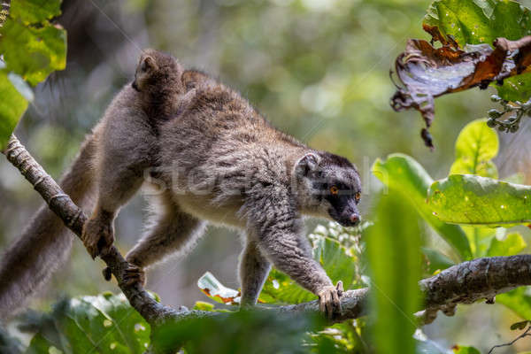 Common brown lemur with baby on back Stock photo © artush