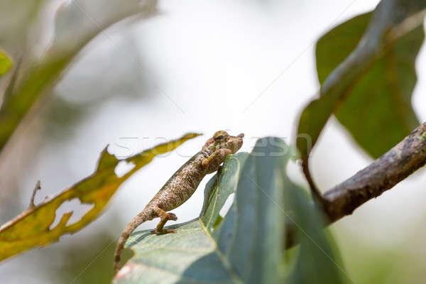 Camaleão bizarro espécies naturalismo habitat parque Foto stock © artush