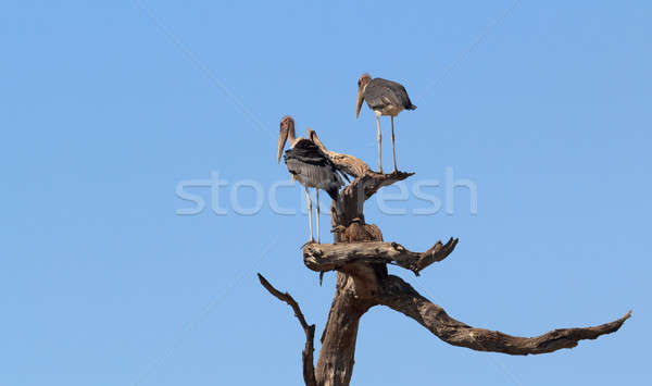 scavenger bird marabou storks Africa safari wildlife and wilderness Stock photo © artush