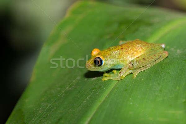 Photo stock: Vert · grenouille · Madagascar · espèce · famille · parc