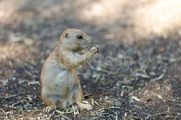 Black-tailed prairie dogs (Cynomys ludovicianus) Stock photo © artush