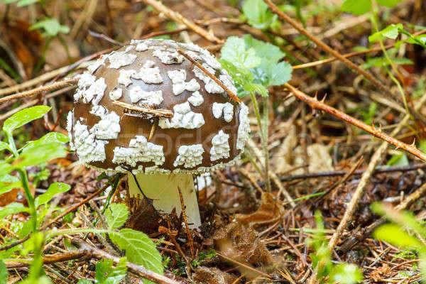 Venenoso cogumelo verão forrest outono cor Foto stock © artush