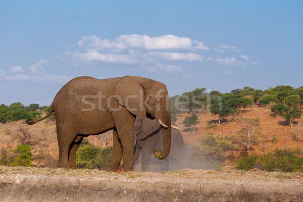 Elefante africano parque retrato Botswana animais selvagens fotografia Foto stock © artush