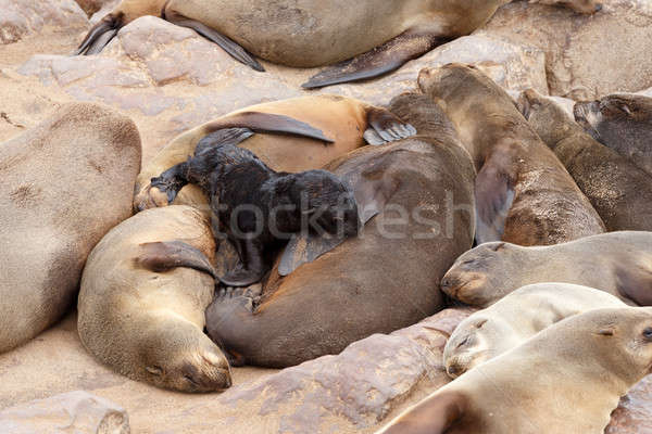 Small sea lion baby in Cape Cross Stock photo © artush