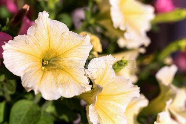 Beyaz damar sarı çiçek yaz bahçe çiçek Stok fotoğraf © artush