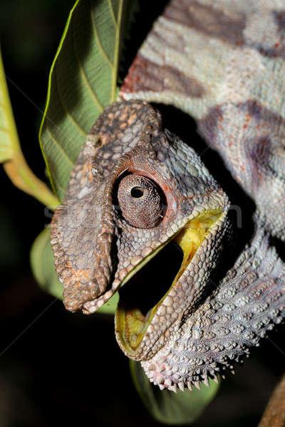 Enojado pantera camaleón grande boca Foto stock © artush