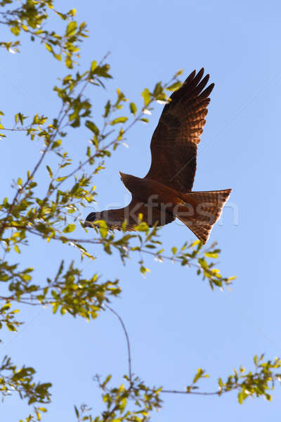 flying predator bird falcon, okavango, Botswana Stock photo © artush