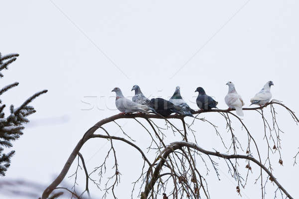 pigeons sitting on the branch in winter Stock photo © artush