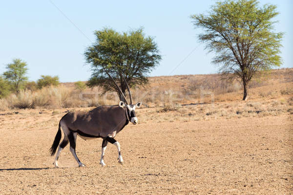Gemsbok, Oryx gazelle in kgalagadi, South Africa safari Wildlife Stock photo © artush