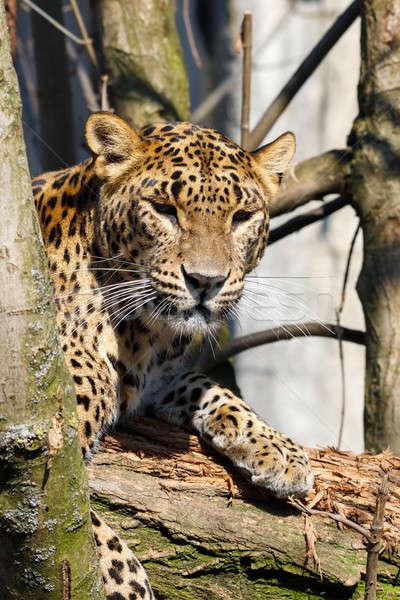 cejlon Sri Lankan leopard, (Panthera pardus kotiya) Stock photo © artush