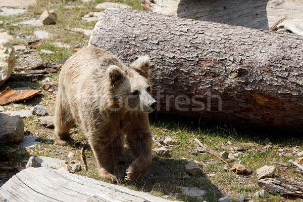 Orso bruno rosso orso confusi natura montagna Foto d'archivio © artush