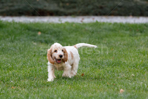purebred English Cocker Spaniel puppy Stock photo © artush