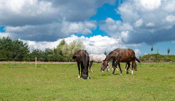 grazing horses on grass field Stock photo © artush
