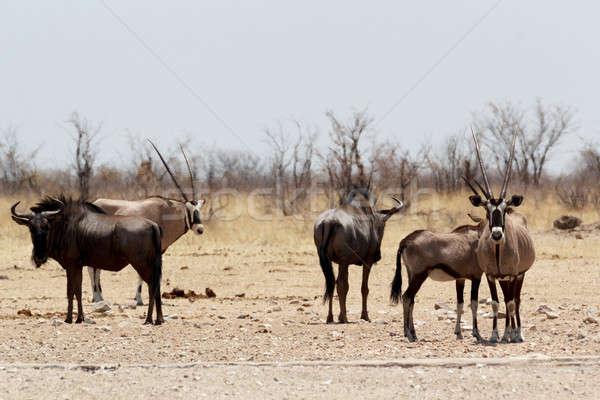 Gemsbok, Oryx gazella and Gnu in african bush Stock photo © artush