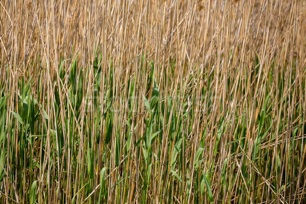 reeds at the pond background Stock photo © artush
