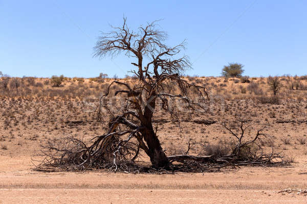 Stock photo: dry kgalagadi transfontier park