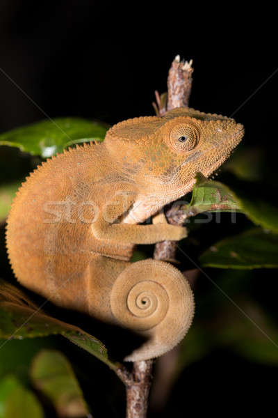 Parson's chameleon (Calumma parsonii) Stock photo © artush