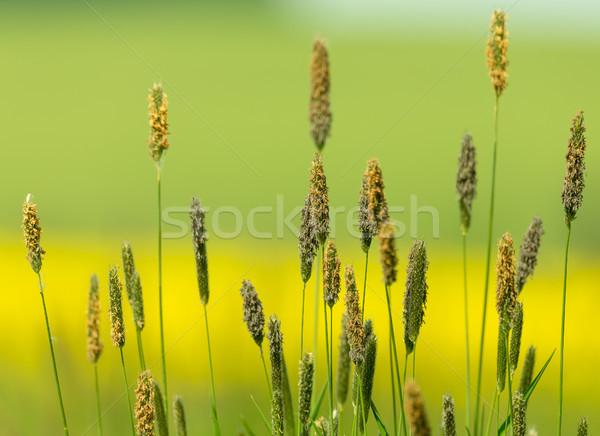 Grama prado verde cor primavera natureza Foto stock © artush