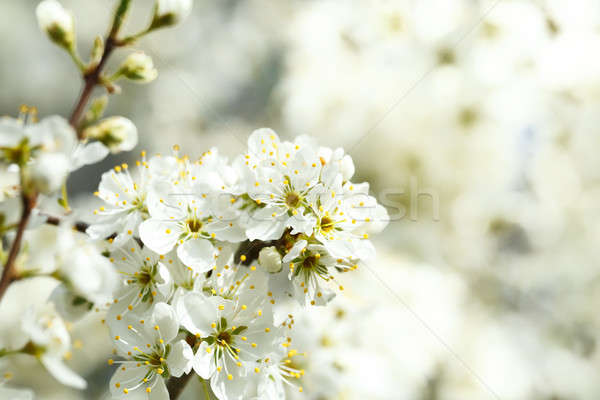 Blossoming tree in spring with very shallow focus Stock photo © artush