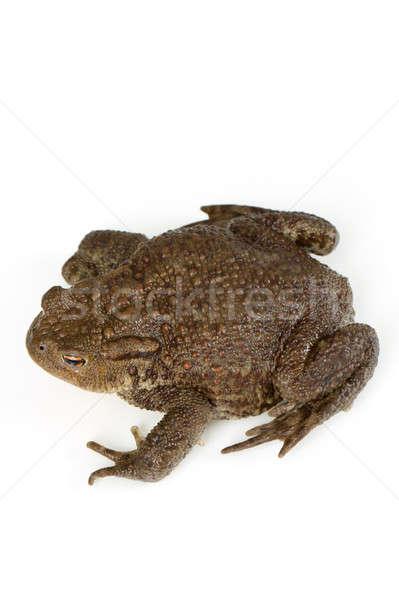 Common toad, bufo bufo, isolated  Stock photo © artush