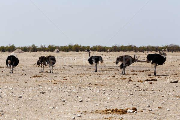 Autruche Namibie faune photographie printemps nature Photo stock © artush