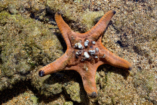 Stock photo: starfish in low tide, indonesia