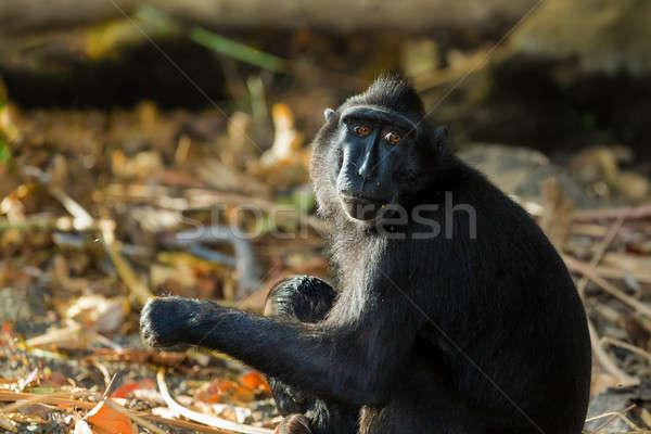 Indonézia portré emberszabású majom majom kicsi baba Stock fotó © artush
