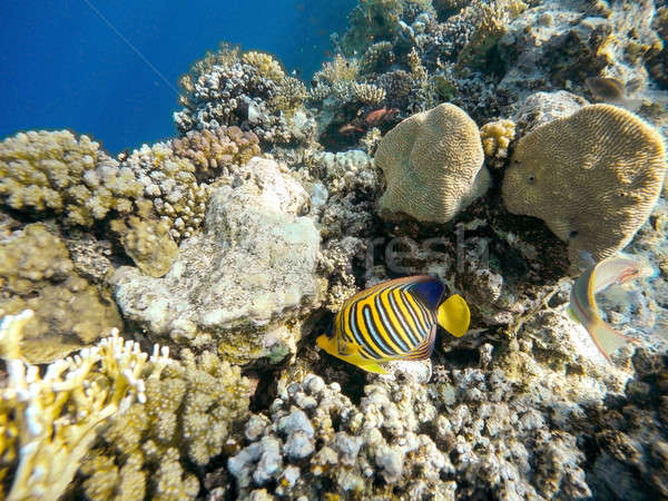 Coral and fish in the Red Sea. Egypt Stock photo © artush