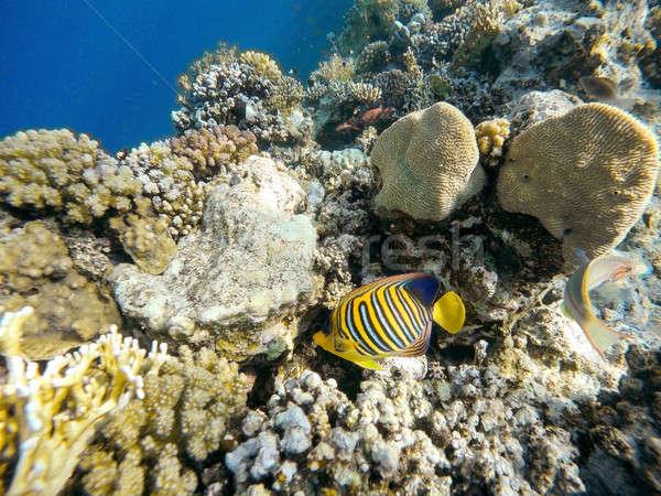 Korall hal Vörös-tenger Egyiptom elöl pillangó Stock fotó © artush