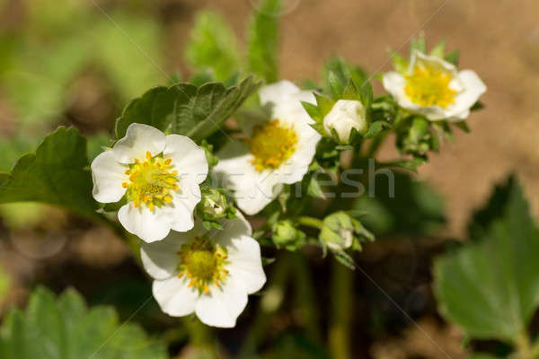 Aardbei bloei ondiep focus plant Stockfoto © artush