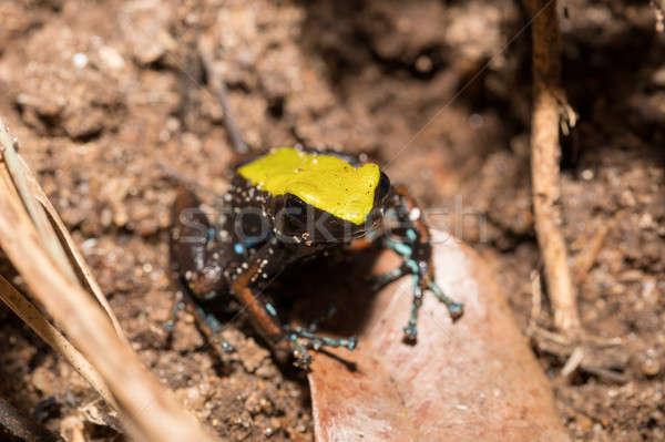 black and yellow frog Climbing Mantella, Madagascar Stock photo © artush