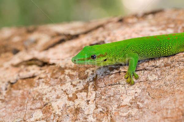 Stockfoto: Dag · gekko · Madagascar · natuurlijke · leefgebied · boom