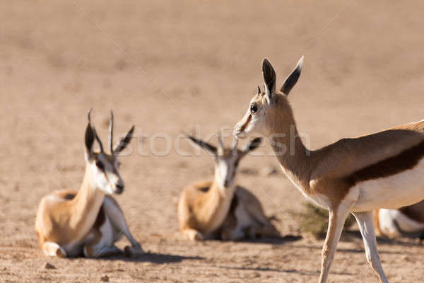 herd of springbok, Africa safari wildlife Stock photo © artush