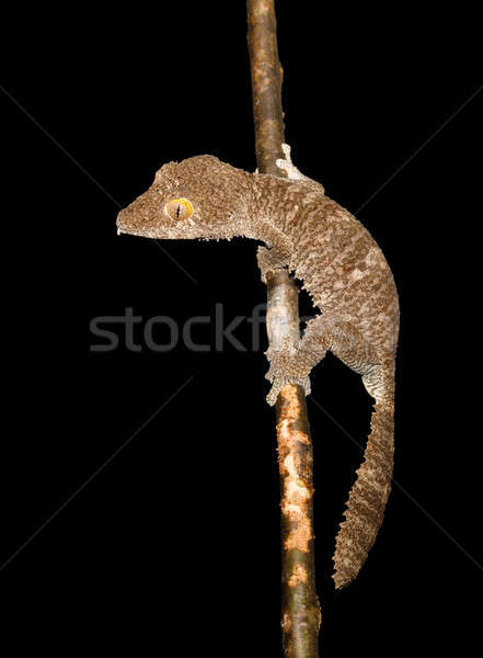 гигант геккон рептилия специальный резерв Сток-фото © artush