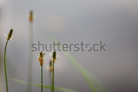 tranquil scene with plantain behind pond Stock photo © artush