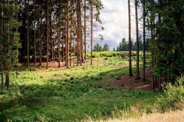 Scène rurale forêt épinette arbre Forrest soleil Photo stock © artush