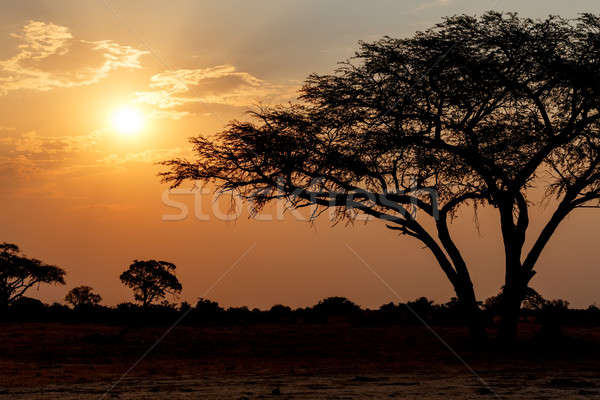 African sunset with tree in front Stock photo © artush