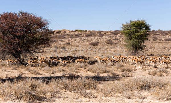 herd of springbok hiding under a big acacia Stock photo © artush